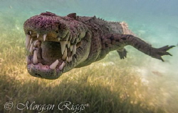 Meet Nino the friendly American Crocodile, this guy came ... by Morgan Riggs